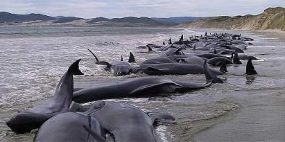 Mais de 100 baleias encontradas mortas em praia da Nova Zelândia