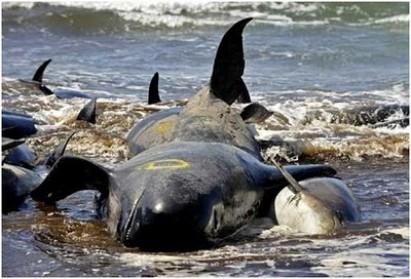 baleias encalham nas costas