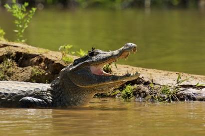 Jacaré vai estar entre as espécies do Pantanal
