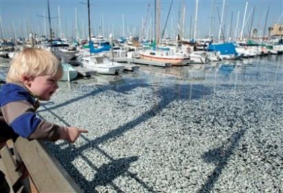 Milhões de sardinhas aparecem mortas em marina de Los Angeles
