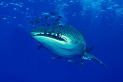 Tubarão-baleia aparece na costa do litoral pernambucano
